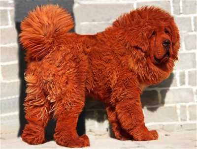 Dünyanın En Pahalı Köpeklerinin Cinsi
