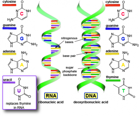 DNA ve RNA Arasındaki farklar nelerdir?