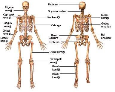 Vücudumuz Nasıl Dik Durur? Dik Durmasını Sağlayan Yapı?